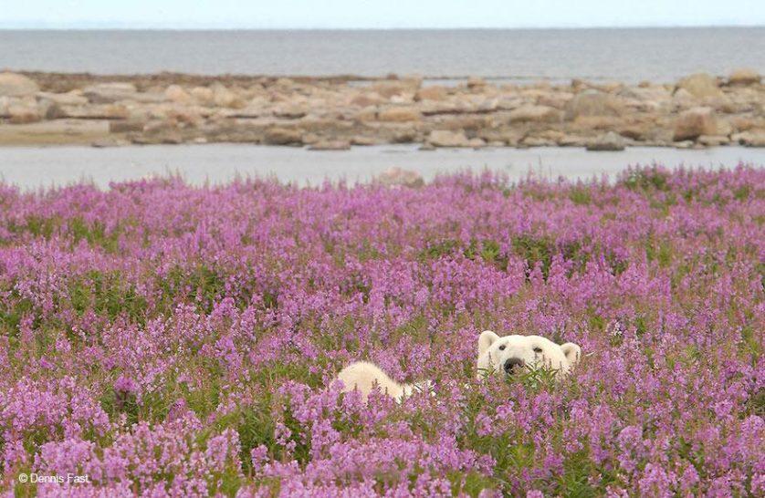 ursos polares primavera (2)
