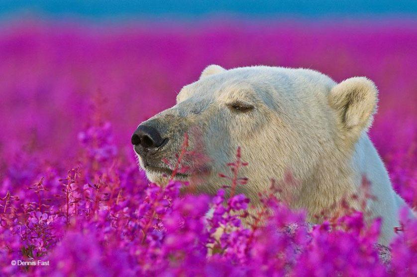 ursos polares primavera (3)