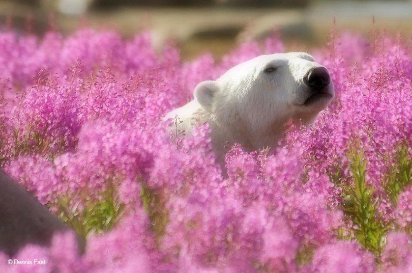 ursos polares primavera (4)