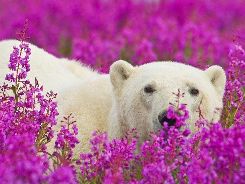 ursos polares primavera (6)