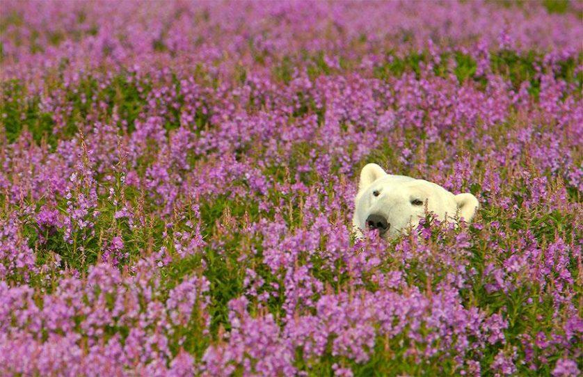 ursos polares primavera (7)