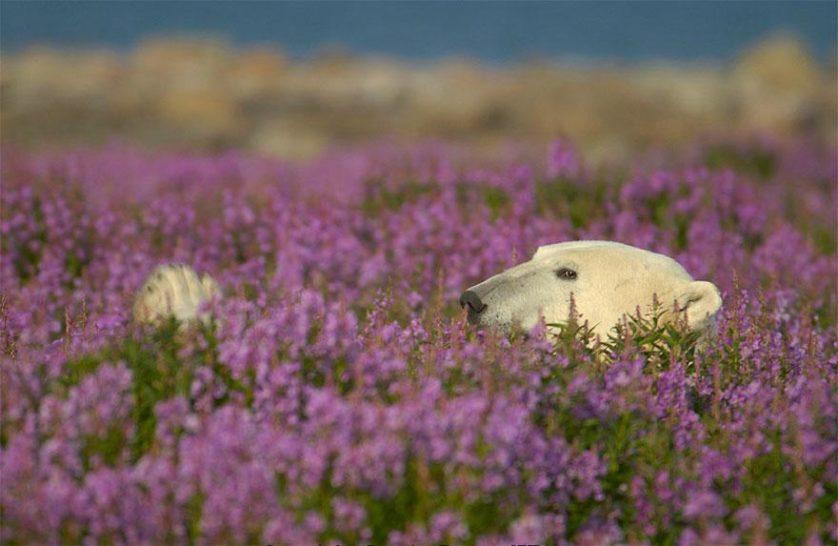 ursos polares primavera (8)