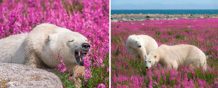 ursos polares primavera (9)