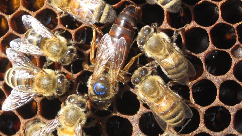 Não é a geleia real que cria uma abelha rainha