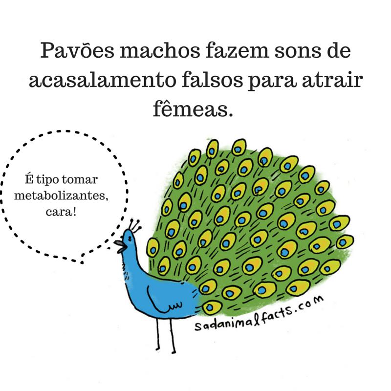 fatos animais pavão