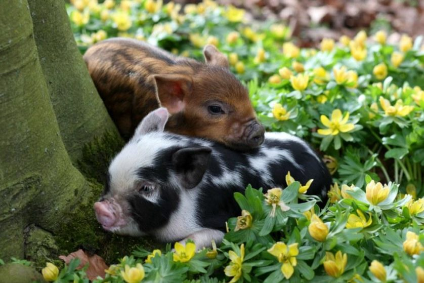 Micro pigs first day of spring