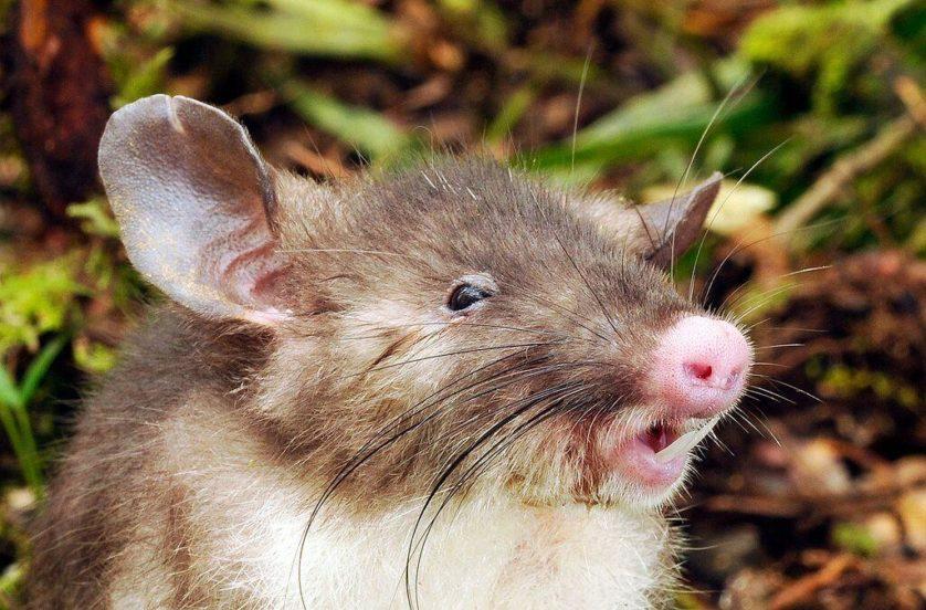 Rato indonésio recém-descoberto tem o nariz mais estranho que eu já vi