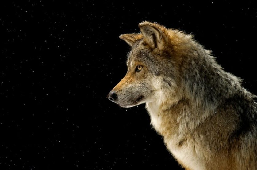 Lobo-mexicano (Canis lupus baileyi) no Wild Canid Survival and Research Center, EUA