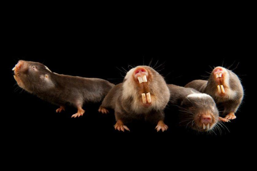 Ratos-toupeira (Cryptomys damarensis) no jardim zoológico de Houston. Estes roedores subsaarianos são um dos dois únicos conhecidos mamíferos eussociais