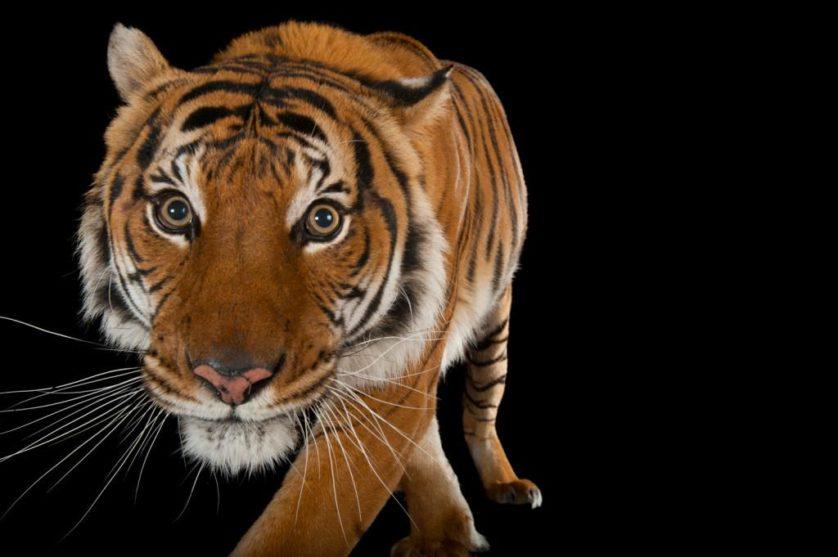 Um tigre-malaio em vias de extinção (Panthera tigris jacksoni) no jardim zoológico de Omaha, EUA