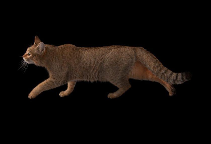Gato-da-Líbia (Felis silvestris lybica) no Wildlife Safari Park do zoológico de Omaha