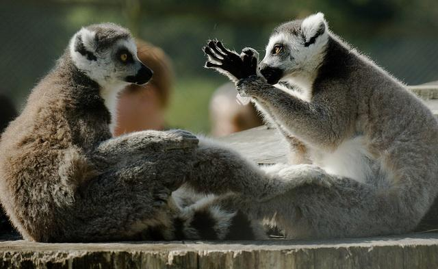lemures conversa evolucao