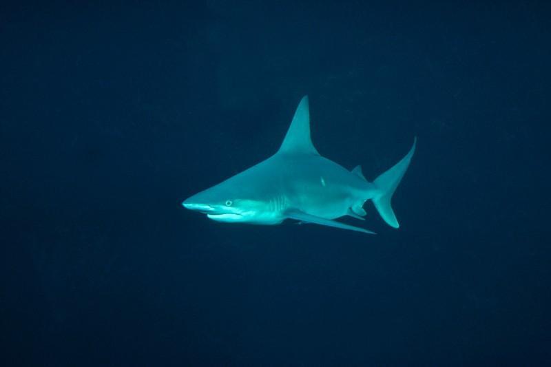 Tubarão-negro