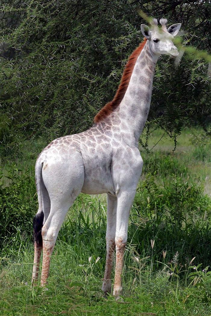 girafa albina omo (1)