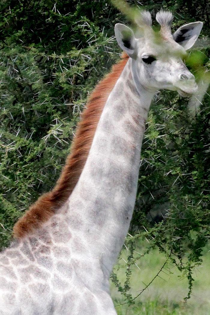 girafa albina omo (3)