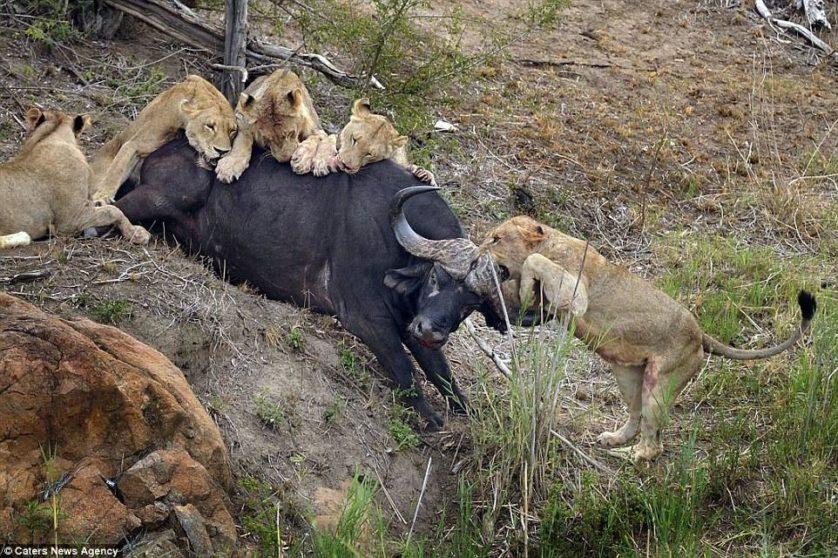 leoes atacam bufalo (1)