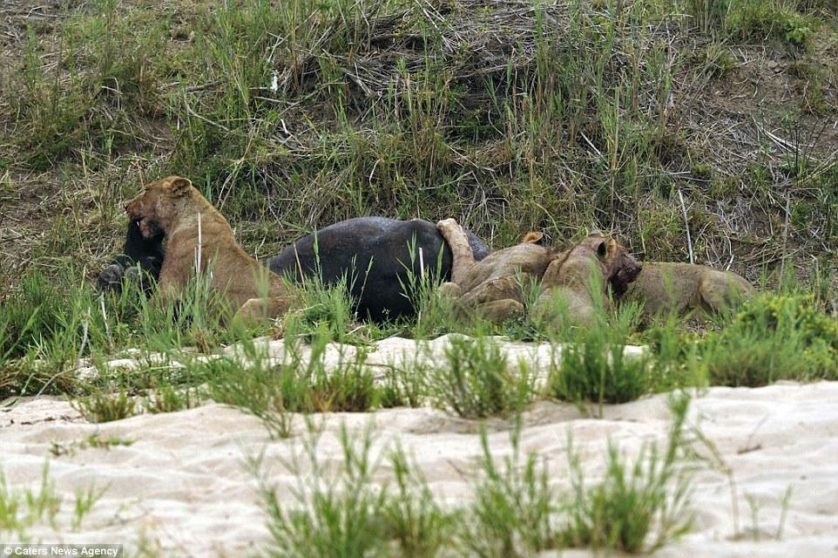 leoes atacam bufalo (2)