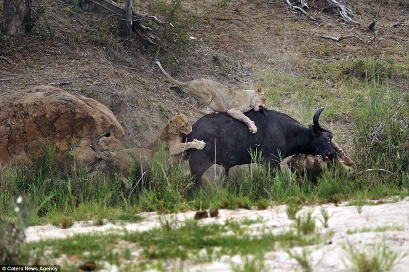 leoes atacam bufalo (4)
