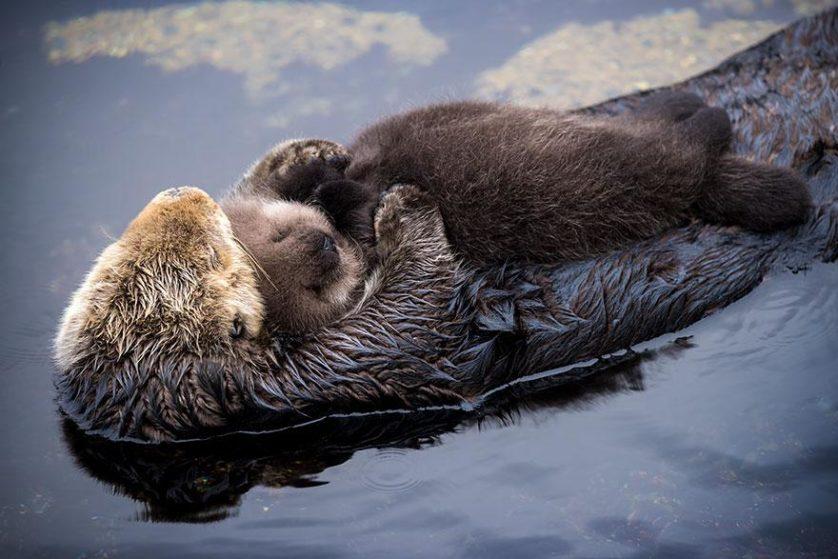 lontra mae e bebe 2