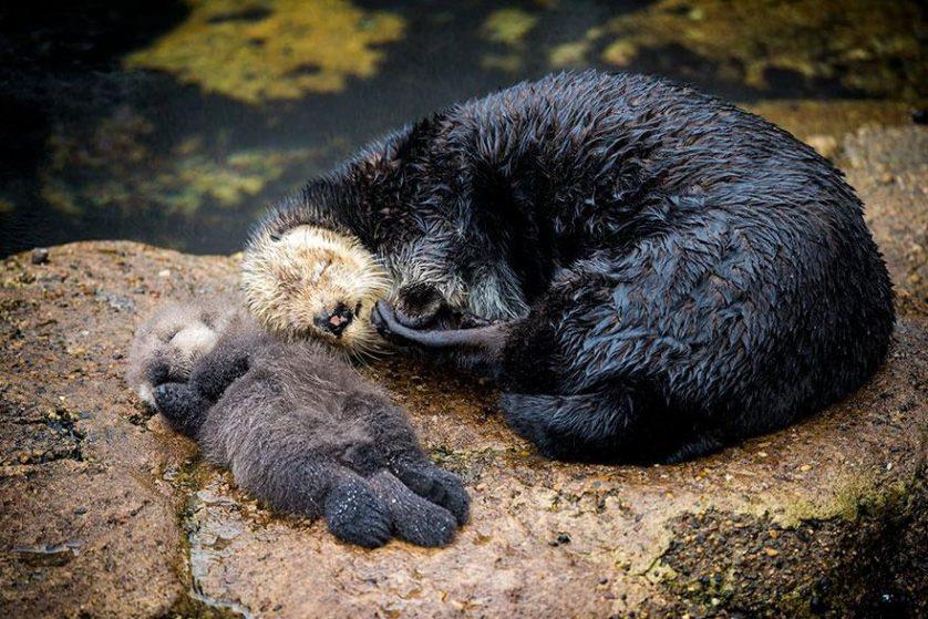 lontra mae e bebe 4