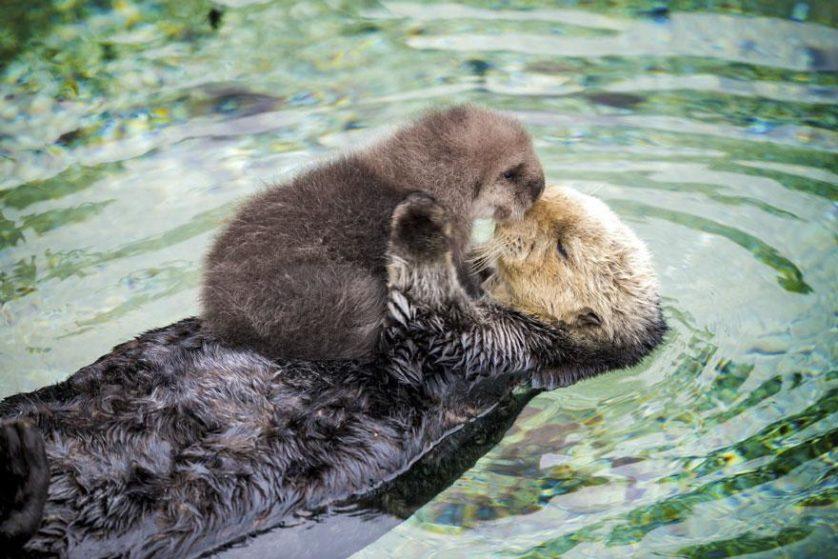 lontra mae e bebe