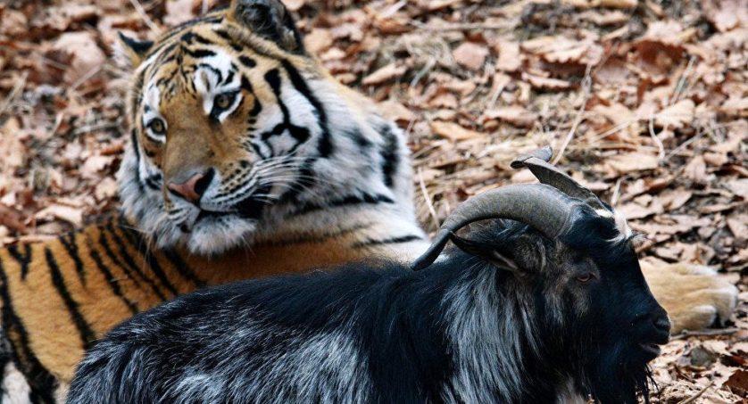 tigre e bode amigos 3