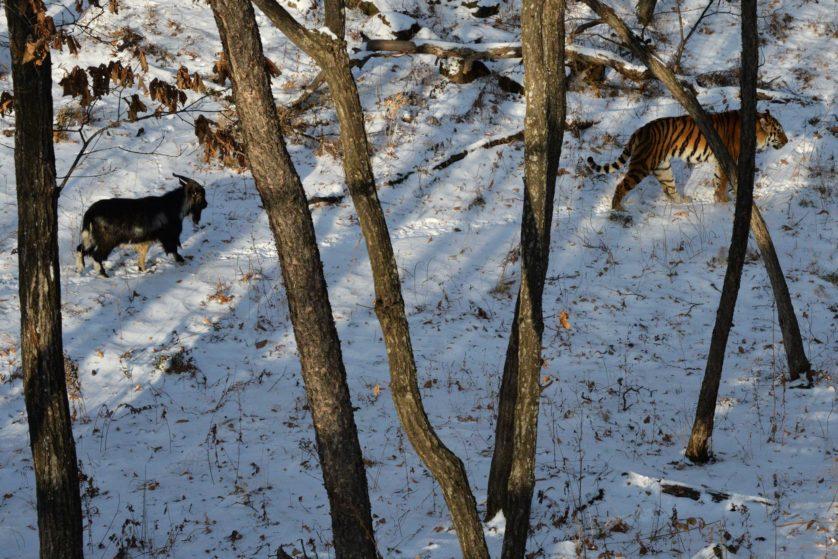 tigre e bode amigos 4