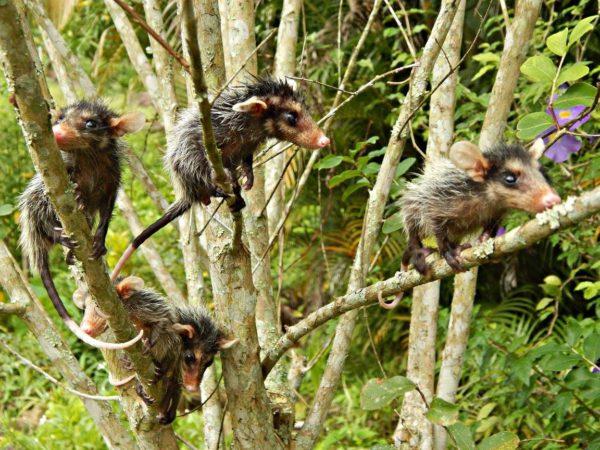 Filhotes de gambás crescidinhos