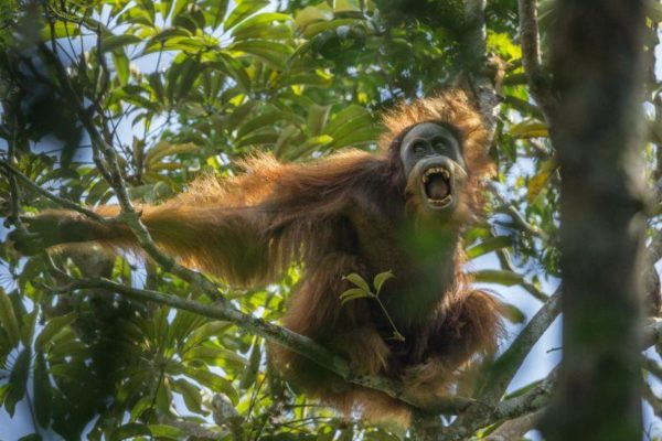 Orangotando Tim Laman top prize Nature Stories