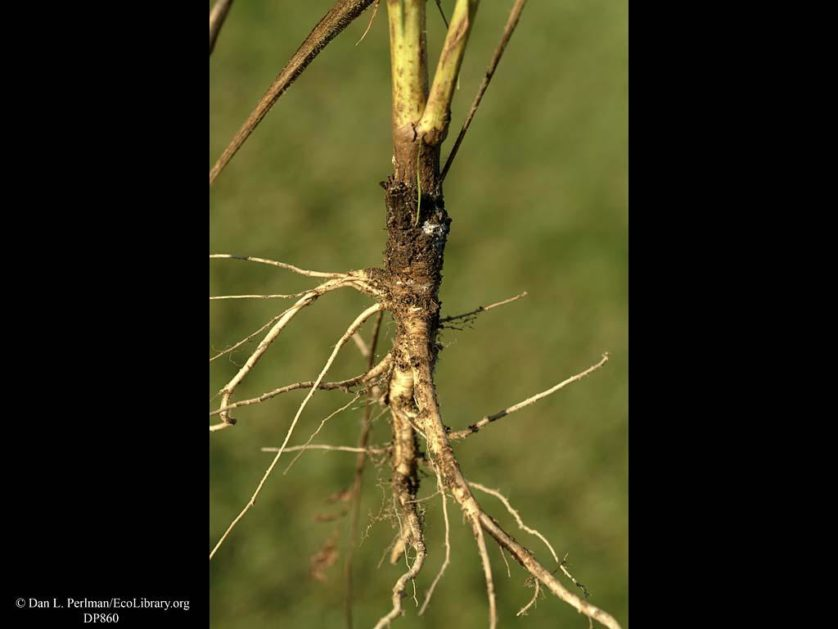Carrot_Queen_Annes_Lace_or_wild_carrot_roots_DP860