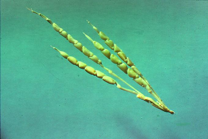 frutas e legumes diferentes modificacao genetica 5-