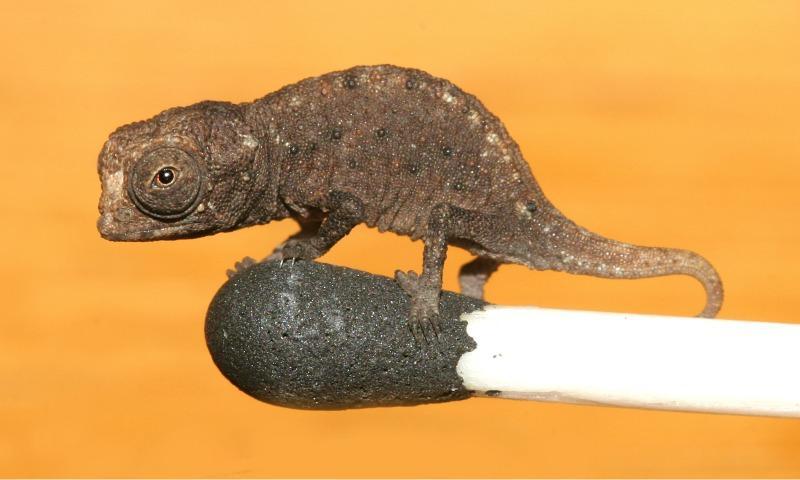 Brookesia Minima Chameleon