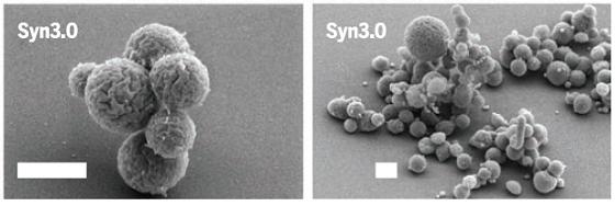Syn3.0 é a bactéria com genoma mínimo para manter a vida e até se reproduzir
