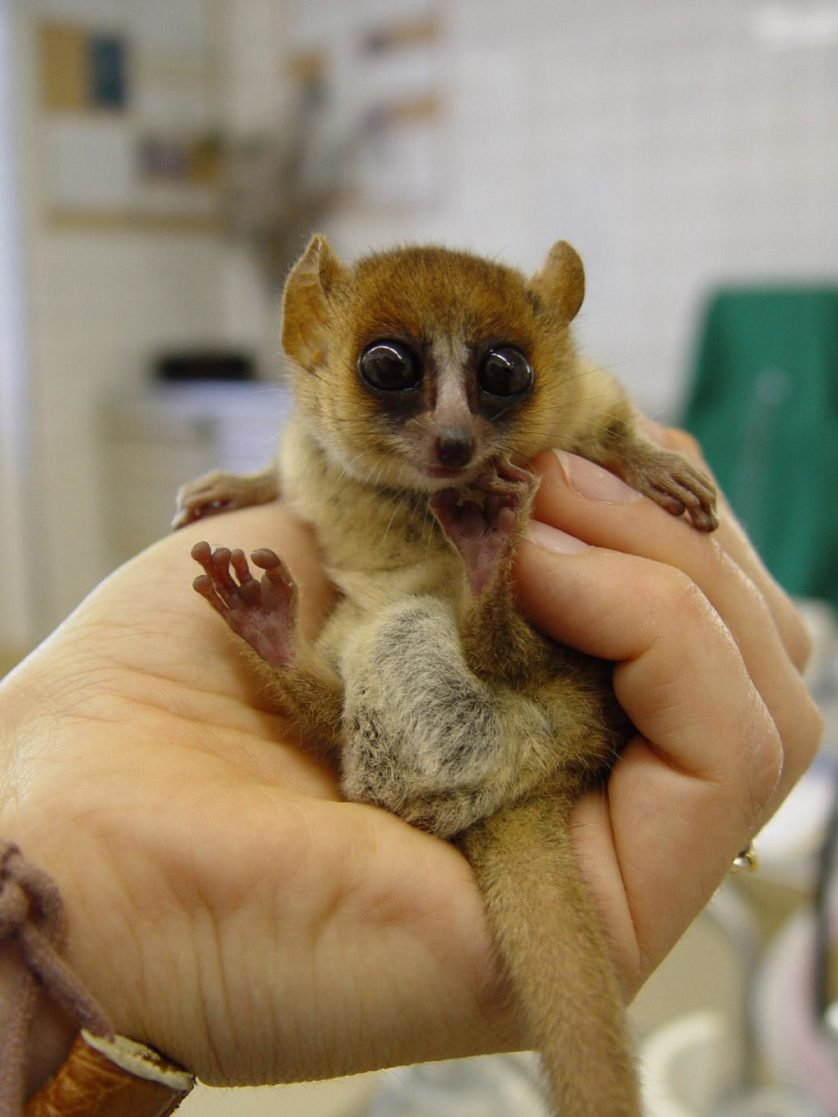 mouse-lemur