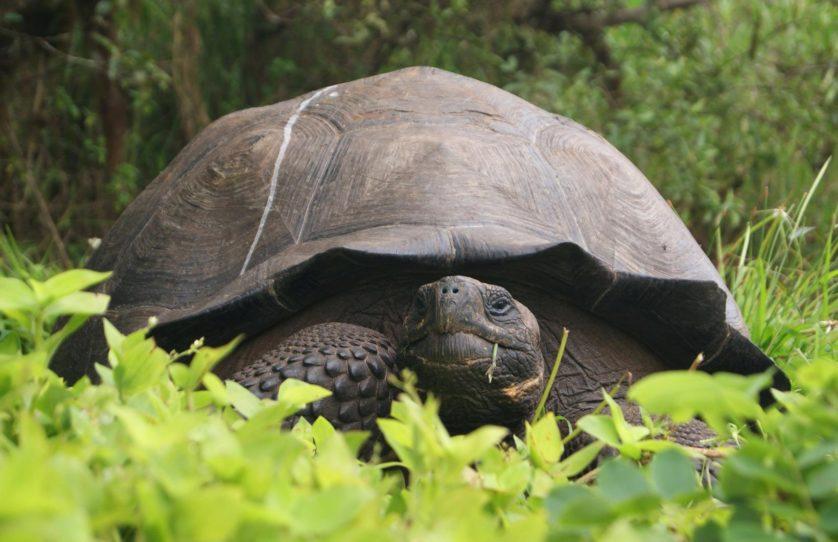 ECUADOR Tortoise 030987