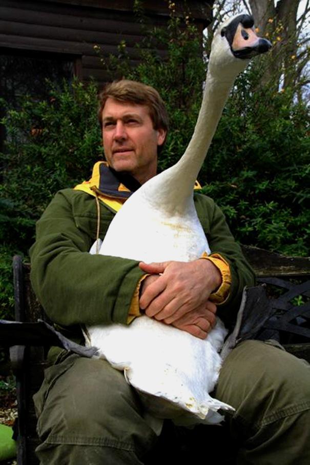 cisne abraca homem que o ajuda (2)