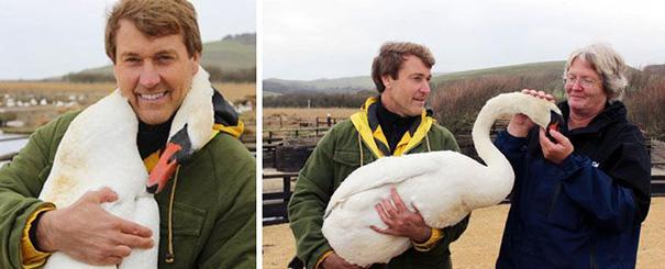 cisne abraca homem que o ajuda (3)