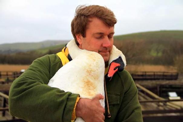 cisne abraca homem que o ajuda (5)