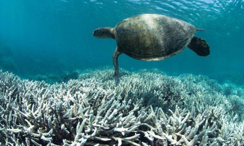 Tartaruga nada sobre coral branqueado perto de Heron Island, no sul da Grande Barreira de Corais