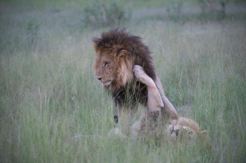 leoes copulando 2