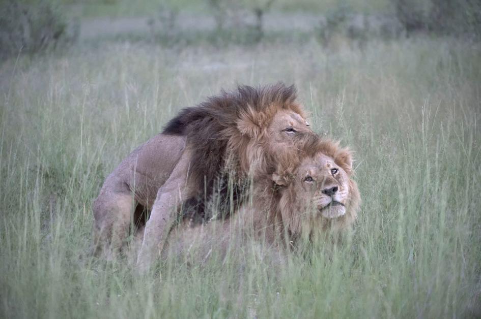 Grandes felinos africanos online dating 1