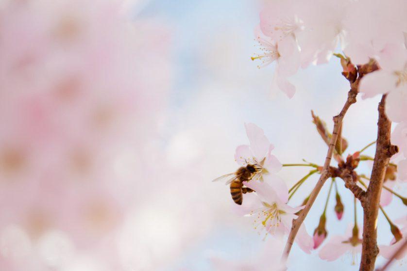 abelhas sumindo EUA