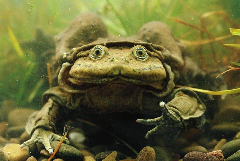 animais mais feios em perigo de extincao 4