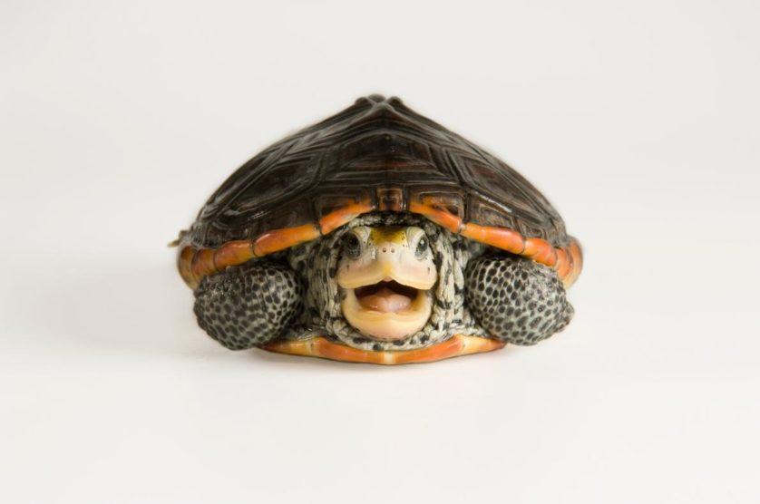 Malaclemys terrapin, uma tartaruga do Mississippi.