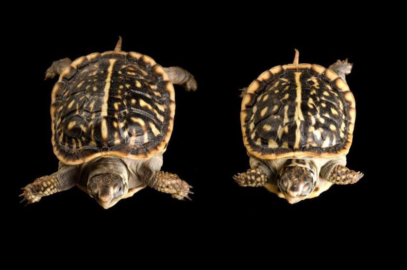 Terrapene ornata, na verdade dois filhotes da tartaruga caixa ornamentada, que tinham três centímetros ao nascer