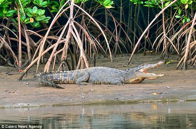 crocodilo-caca-mulher-que-nadava-durante-noite-3