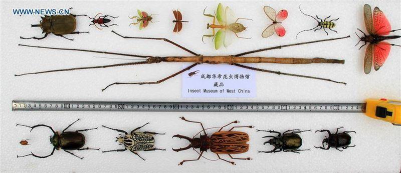 maior inseto do mundo 2