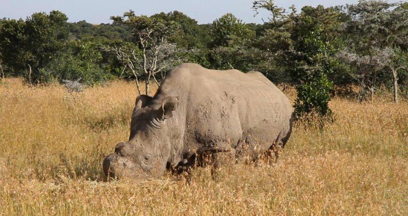 Um dos últimos rinocerontes, no Quênia