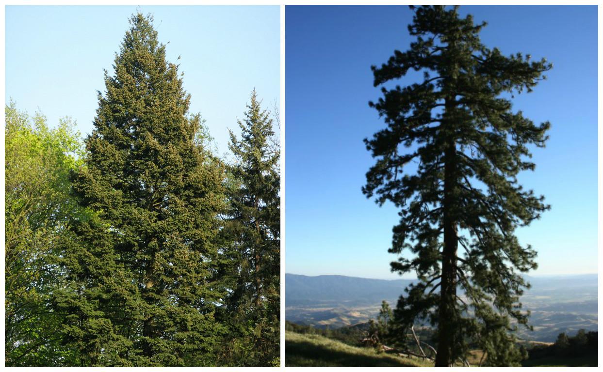 Olha eles de novo! Pseudotsuga menziesii e Pinus ponderosa