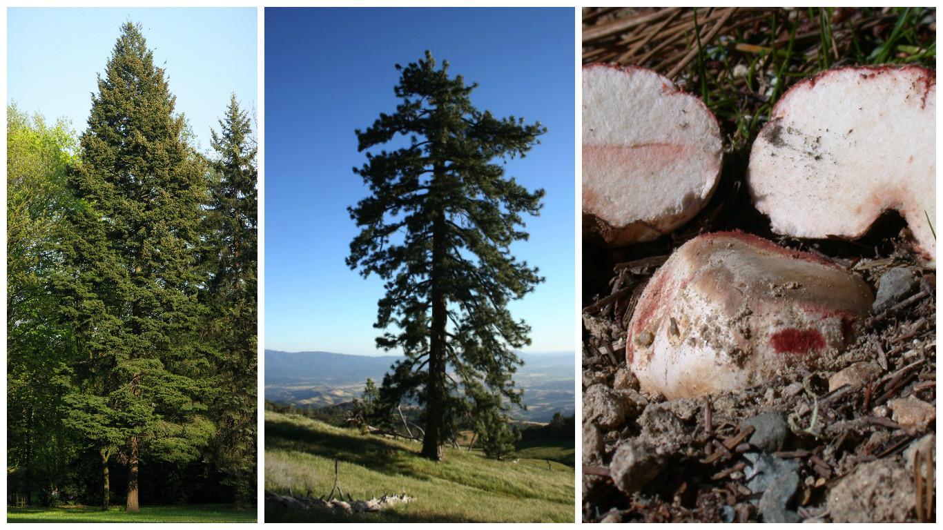 pinheiros e fungo